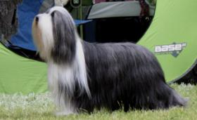Foto 6 Bearded Collie, ein faible f�rs Besondere
