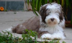 Foto 7 Bearded Collie, ein faible f�rs Besondere