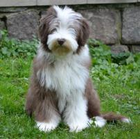 Foto 8 Bearded Collie, ein faible f�rs Besondere