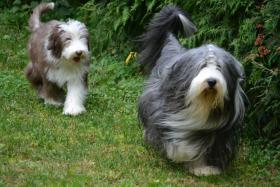 Foto 9 Bearded Collie, ein faible f�rs Besondere