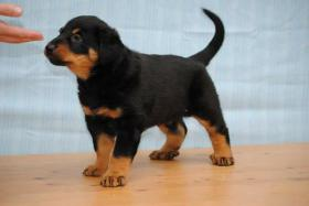 Beauceron, Berger de Beauce