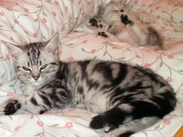 Beautiful British tabby kittens with pedigree