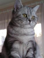 Foto 3 Beautiful British tabby kittens with pedigree