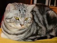 Foto 4 Beautiful British tabby kittens with pedigree