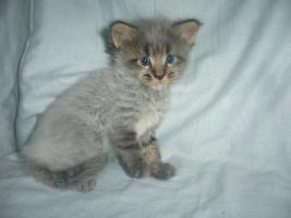 Foto 5 Beautiful Maine Coon kitten