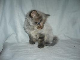 Foto 2 Beautiful Maine Coon kitten