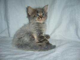 Foto 6 Beautiful Maine Coon kitten