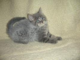 Foto 3 Beautiful Maine Coon kitten