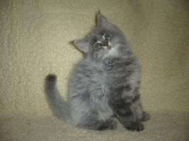 Foto 4 Beautiful Maine Coon kitten