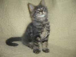 Foto 5 Beautiful Maine Coon kitten