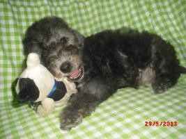 Foto 3 Bedlington Terrier