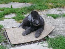 Bedlington Terrier Welpe