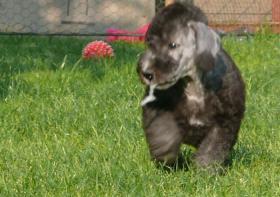 Foto 2 Bedlington Terrier Welpe