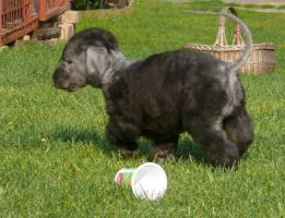 Foto 3 Bedlington Terrier Welpe