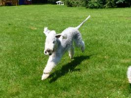 Foto 3 Bedlington Terrier Welpen