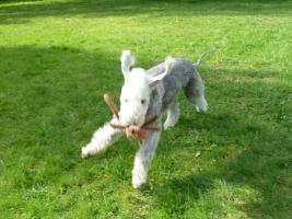 Foto 4 Bedlington Terrier Welpen