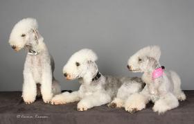 Foto 5 Bedlington Terrier Welpen