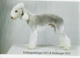 Foto 6 Bedlington Terrier Welpen