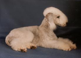 Bedlington Terrier Welpen