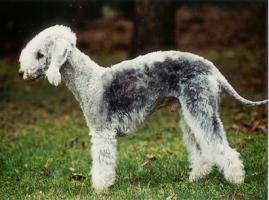 Foto 2 Bedlington Terrier Welpen