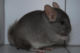 Beiger Chinchilla