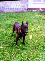 Foto 2 Belgische Sch�ferhund Dame