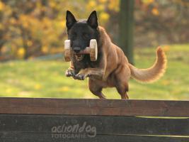 Foto 2 Belgischer Schäferhund Malinois Stammbaum FCI
