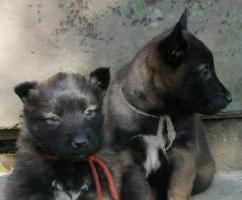 Foto 2 Belgischer Schäferhund Malinois und Tervueren