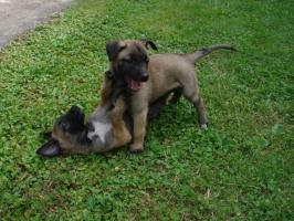 Foto 4 Belgischer Sch�ferhund Malinois Welpen mit Stammbaum