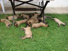 Foto 6 Belgischer Sch�ferhund Malinois Welpen mit Stammbaum