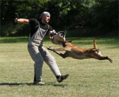 Foto 7 Belgischer Sch�ferhund Malinois Welpen mit Stammbaum