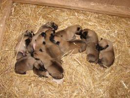 Belgischer Sch�ferhund Malinois Welpen mit Staumbaum