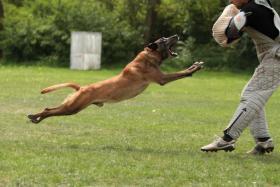 Foto 2 Belgischer Sch�ferhund Malinois Welpen mit Staumbaum