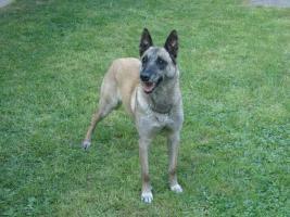 Foto 3 Belgischer Sch�ferhund Malinois Welpen mit Staumbaum
