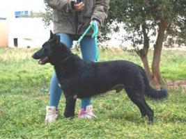 Foto 3 Belgischer Schäferhund Mischling VAN GOGH sucht ein Zuhause oder eine PS