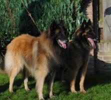 Belgischer Schäferhund-Tervueren Welpen, DE PALIARO