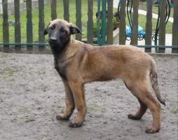 Foto 2 Belgischer Schäferhund Welpen - Malinois - zu verkaufen