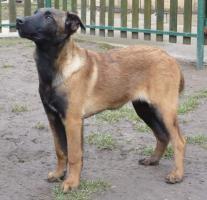 Foto 4 Belgischer Schäferhund Welpen - Malinois - zu verkaufen