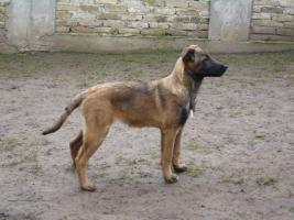 Foto 5 Belgischer Schäferhund Welpen - Malinois - zu verkaufen