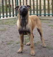 Foto 6 Belgischer Schäferhund Welpen - Malinois - zu verkaufen