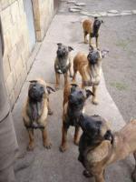 Foto 7 Belgischer Schäferhund Welpen - Malinois - zu verkaufen