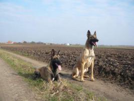 Foto 8 Belgischer Schäferhund Welpen - Malinois - zu verkaufen