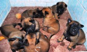 Foto 2 Belgischer Sch�ferhund malinois