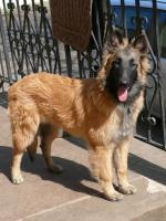 Foto 2 Belgischer Sch�ferhund tervueren