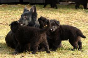 Foto 4 Belgischer Schäferhund - GROENENDAEL