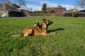 Foto 2 Belgischer Schäferhund - Malinois
