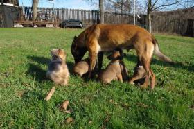 Foto 3 Belgischer Schäferhund - Malinois