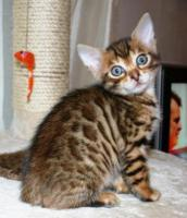 Foto 3 Bengal Kätzchen