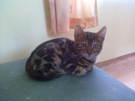 Foto 2 Bengal-Katzen