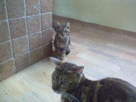 Foto 3 Bengal-Katzen